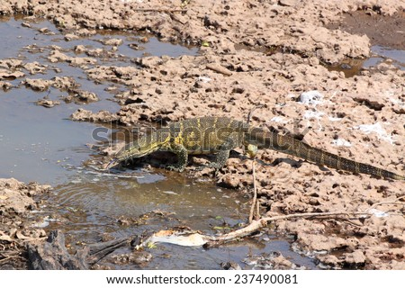 A large Nile Monitor, Varanus niloticus, drinking near a river in Serengeti National Park, Tanzania - stock photo