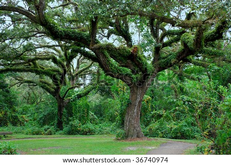 A large Oak tree forest with lush green fern growing all over.