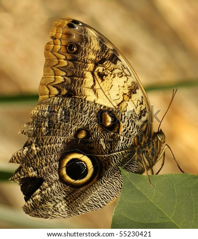 A large Owl Butterfly perching on a leaf - found in the forests of Mexico, Central and South America - stock photo