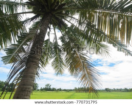 A large palm tree hangs over a rice field in eastern Thailand