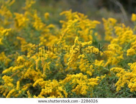 A large patch of golden rod.