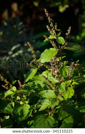 A large patchouli plant in bloom with long stemmed flowers in the morning sunlight. - stock photo