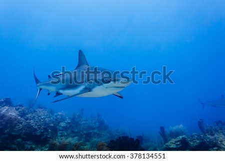 A large reef shark, Carcharhinus amblyrhynchos, swimming above coral reef - stock photo
