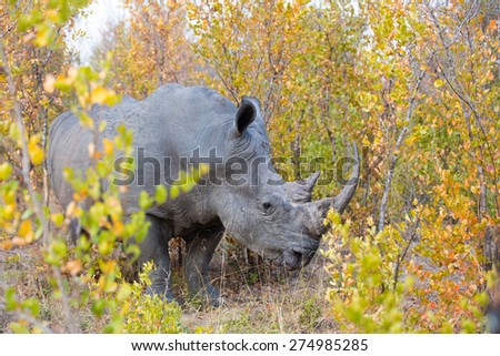 A large rhino standing in autumn foliage - stock photo