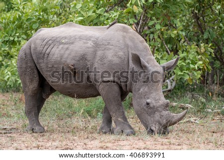 A large rhinocerouse grazing in Kruger National Park, South Africa. - stock photo