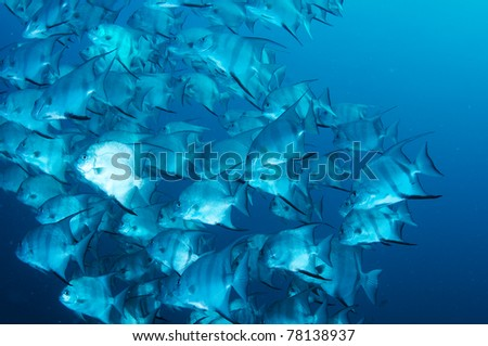 A large school of Atlantic Spadefish in open water. - stock photo