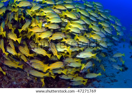 A large school of blue striped snappers, appear to dance on the sea floor. - stock photo