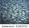 a large school of ox-eye scad fish swimming together, underwater. - stock photo