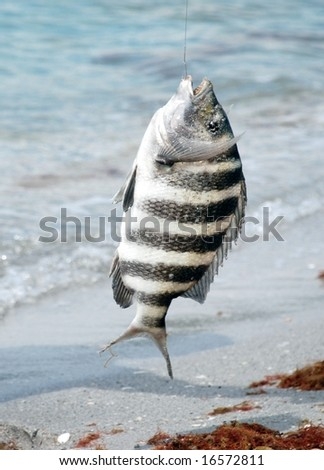 A large sheepshead fish hanging from a fishing hook and line. - stock photo