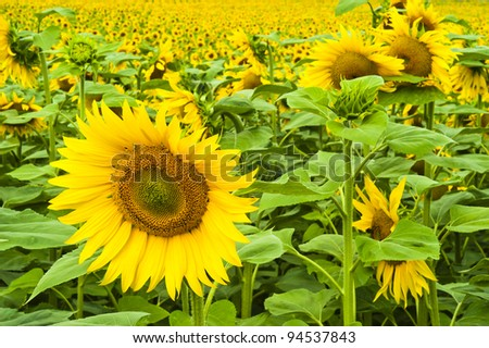 A large single sunflower in front of a field of sunflowers - stock photo