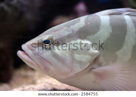 A large snapper in an aquarium - stock photo