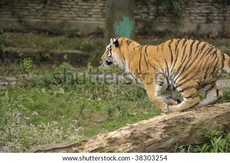 A large tiger preparing to jump - stock photo