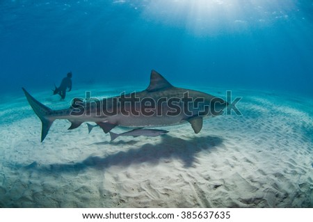 A large tiger shark gliding along the ocean floor with a scuba diver in the background - stock photo