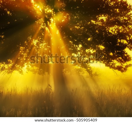 a large tree in the early morning mist and the sun shining through its branches. Warm nice photos beautiful dawn.