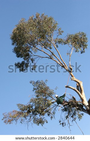 A large tree is being cut down by a man suspended ropes. - stock photo