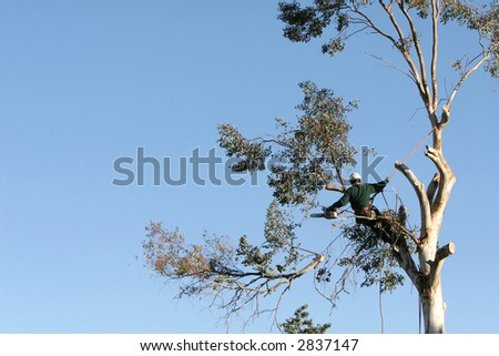 A large tree is being cut down by a man suspended ropes. A large branch is falling - stock photo
