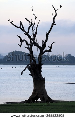 A large tree with silhouettes of birds on the scenic Lake Taungthaman which the U Bein Bridge crosses in the early morning light, near Mandalay, Myanmar.  - stock photo