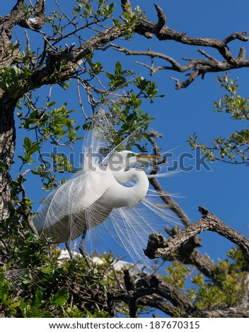 "A large white great egret perches in a tree showing its ""nuptial plumes"", special feathers that emerge in breeding season. - stock photo"