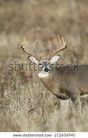 A large white-tailed deer buck - stock photo