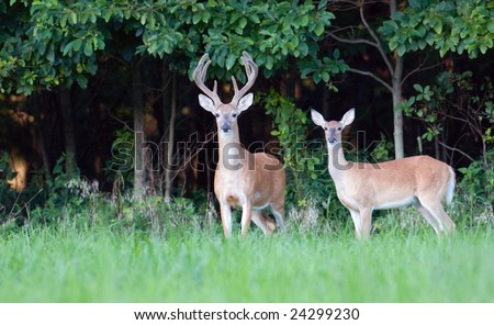 A large whitetail buck and a doe stand at the edge of the woods in spring