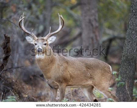 A large Whitetail Buck deer stands in the forest during the rut. - stock photo