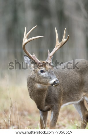A large whitetail buck grazes near the edge of a field in Tennessee
