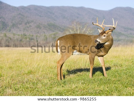 A large whitetail deer buck makes its way through a green, grassy meadow with mountains - stock photo