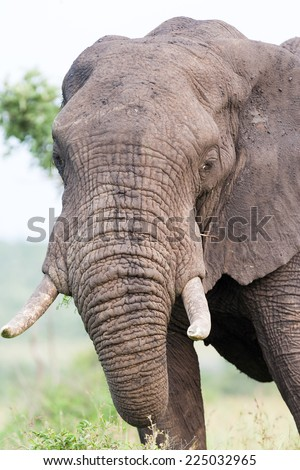 A large wild bull African Elephant grazing on an open field on a cloudy day - stock photo
