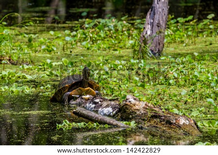 A Large Yellow-bellied Slider (Trachemys scripta scripta) Turtle Sunning on a Log at Brazos Bend State Park, Texas.