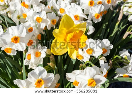 A large yellow daffodil standing above a group of white and orange mini daffodils in morning sunshine.