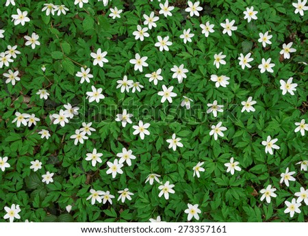 A larger group of wood anemones blooms on a forest floor, taken from above in top view.  - stock photo