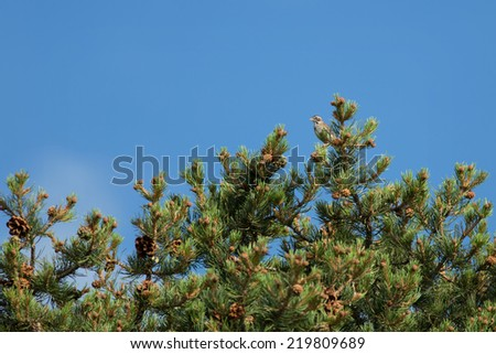 A Lark Sparrow (Chondestes grammacus) perches in the top of a pinyon tree in southern Utah, in the area of Smith Mesa. - stock photo