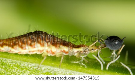 A larva of common Green Lacewing (Chrysoperla carnea) feeding on an aphid - stock photo