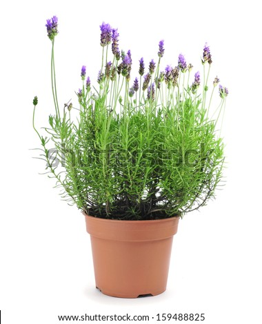 a lavender plant in a flowerpot on a white background - stock photo