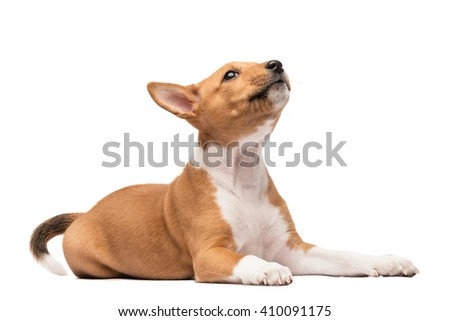A laying basenji puppy howling looking up