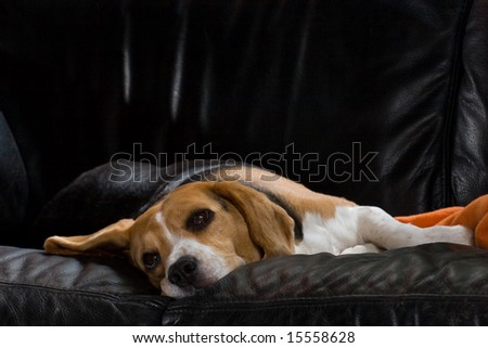 a lazy female beagle resting on a black leather sofa