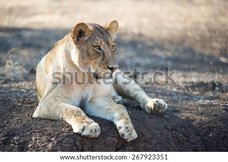 A lazy lioness, resting in the shade on dark earth in Mashatu, Botswana. - stock photo
