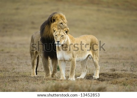 A leading Pair of Lion out on the plains - stock photo