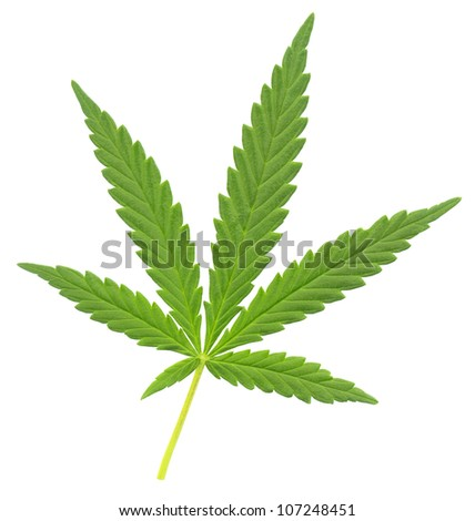 a leaf of marijuana (Cannabis sativa), isolated over white