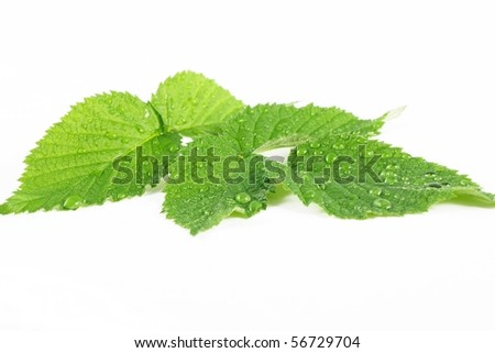 a leafs on white - stock photo