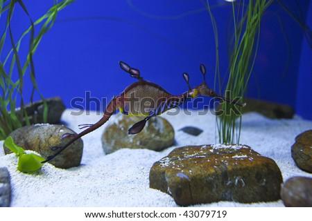 a leafy sea dragon - stock photo