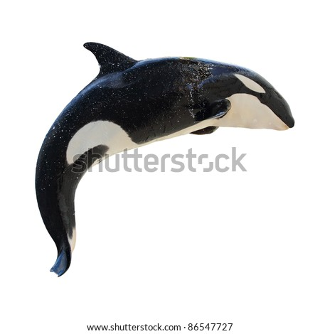 A leaping Killer Whale, Orca Orcinus, isolated on white - stock photo