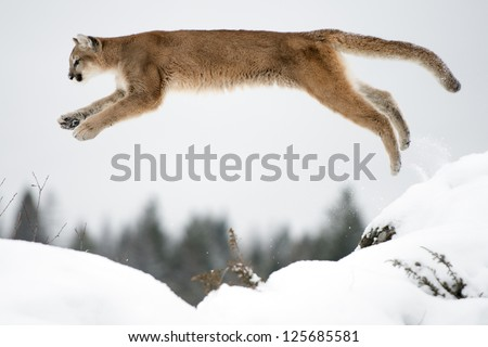A Leaping Mountain Lion over the snow - stock photo