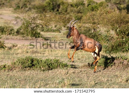 A leaping Topi antelope