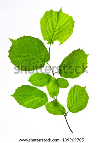 a leaves isolated on white
