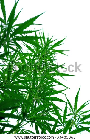a leaves of hemp closeup on white background - stock photo