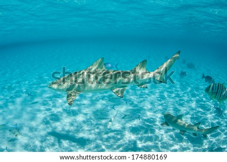 A Lemon shark (Negaprion brevirostris) swims through the warm, clear water of Bora Bora's lagoon in French Polynesia. This species is found in both the Atlantic and the Pacific Oceans. - stock photo
