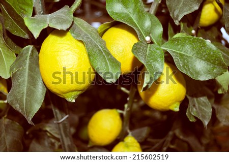 A lemon tree in the Citrus Limon family - stock photo