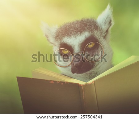 A lemur animal with glasses is reading a book in the woods for an education or school concept. - stock photo
