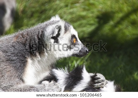 a lemur distracted while grooming their tail - stock photo